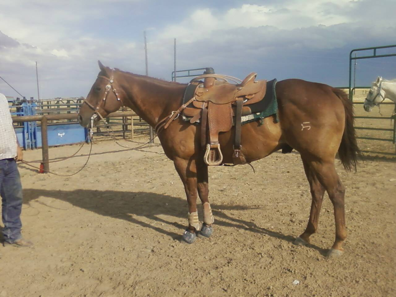 Team Roping Horses for Sale - Arizona Rope Horses